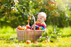 Baby in apple basket in autumn fruit orchard Stock Photos