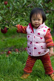 Baby Apple Picking. Baby's first time apple picking Royalty Free Stock Photos