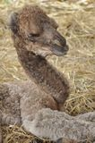 Baby arabian camel Royalty Free Stock Photo