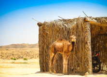 Baby arabian camel or Dromedary also called a one-humped camel i Royalty Free Stock Images