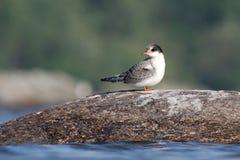Baby Arctic Tern Stock Photo