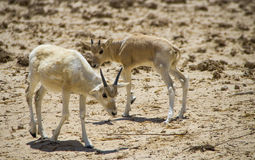 Baby of asian antelope  addax Stock Photo