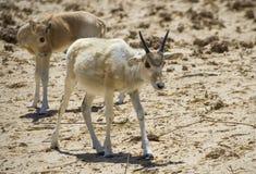 Baby of asian antelope  addax (Addax nasomaculatus) Royalty Free Stock Photography