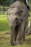 Baby Asian Elephant Royalty Free Stock Photos