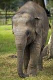 Baby Asian Elephant Royalty Free Stock Photos