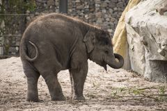 Baby Asian elephant. Playing alone at  Artis Royal Zoo Amsterdam Netherlands Royalty Free Stock Image