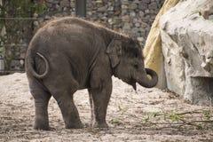 Baby Asian elephant. Playing alone at Artis Royal Zoo Amsterdam Netherlands Royalty Free Stock Image