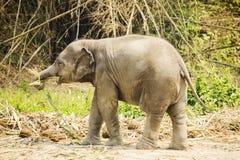 Baby Asian elephant Stock Photos