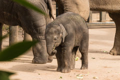 Baby Asian elephant Royalty Free Stock Photography