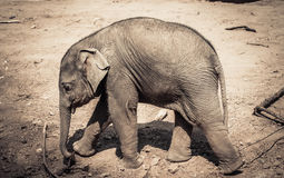 Baby Elephant. Portrait of baby Asian elephant in yard royalty free stock image