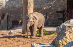 Baby Asian Elephant Stock Photography