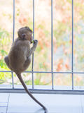 Baby asian monkey eating fresh friut.  royalty free stock photos