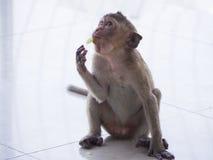 Baby asian monkey eating fresh friut.  stock photo