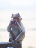 Baby asian monkey eating fresh friut sit on the Rail bridge.  royalty free stock image