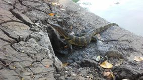 Baby Asian Water Monitor Lizard, Varanus Salvator in Lumphini Park in Bangkok, Thailand. Stock Images