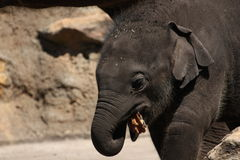 Baby Asiatic Elephant Royalty Free Stock Image