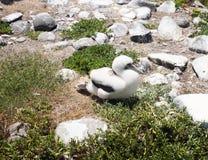 Baby atoba bird in Abrolhos archipelago, Bahia, Brazil royalty free stock images