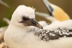 Baby Australasian Gannet Stock Photography