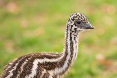 Baby Australian Emu Stock Photo