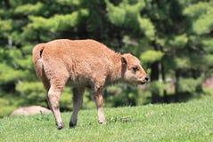 Baby-Büffel Stockbild