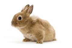 Baby babbit Stock Image