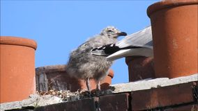 Baby babies bird birds seagulls seagull nesting nest roof rooftop chimneys family. Video of two baby bird seagulls nesting high above the rooftops growing up stock video footage