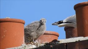 Baby babies bird birds seagulls seagull nesting nest roof rooftop chimneys family. Video of two baby bird seagulls nesting high above the rooftops growing up stock footage