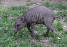 Baby Babirusa Stock Photography