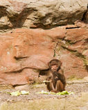Baby Baboon. Sitting eating on a rock ledge Stock Photo