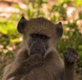 Baby Baboon Royalty Free Stock Photo