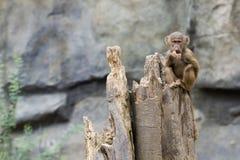 Baby Baboon. A young Hamadryas baboon eats a slice of papaya Royalty Free Stock Photo