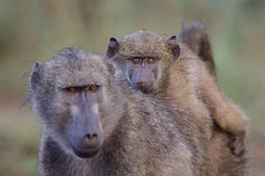 Baby baboon. A baby baboon riding on its mother's back with the focus on the baby's eyes Stock Images