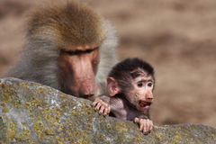 Baby baboon Stock Photos
