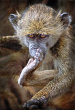 Baby baboon Royalty Free Stock Photos