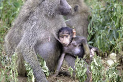 Baby baboon breast feeds from mother Stock Image