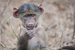A baby Baboon, South Africa Royalty Free Stock Photo