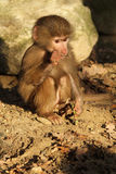Baby baboon chewing on a twig Royalty Free Stock Photography