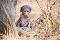Baby baboon close to mother in grass for safety Royalty Free Stock Image