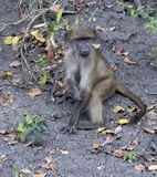 Baby Baboon, disambiguation, sitting on ground. With leaves scattered around him. Kruger National Park, South Africa royalty free stock image