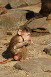 Baby baboon eating Royalty Free Stock Photo