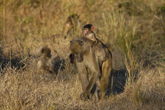 Baby Baboon with Grass on Mom's Back Stock Images