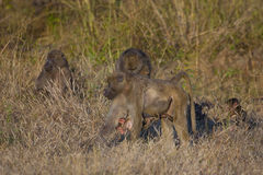 Baby Baboon Hanging from Foraging Mom Royalty Free Stock Images