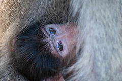 Baby baboon hiding in body of mother for safety Stock Photography