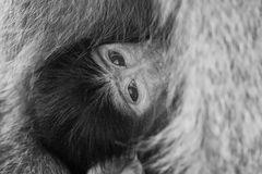 Baby baboon hiding in body of mother for safety Royalty Free Stock Images