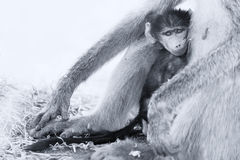 Baby baboon hiding in body of mother for safety Stock Images