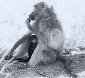 Baby baboon hiding in body of mother for safety Royalty Free Stock Photo