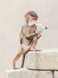 Baby baboon learning to eat through play Royalty Free Stock Photography