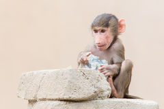 Baby baboon learning to eat through play Royalty Free Stock Image