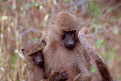 Baby baboon with mother, Lake Manyara National Park, Tanzania Royalty Free Stock Image