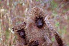 Baby baboon with mother, Lake Manyara National Park, Tanzania. Taken near the main road into the park Royalty Free Stock Image
